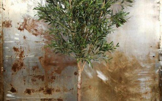 Elsker du oliventræer?